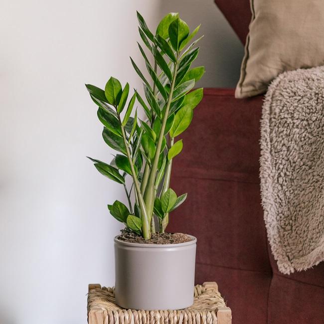 Fiona Zamioculcas Zamiifolia